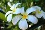 Illatolaj Tahitian Gardenia