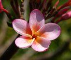 Illatolaj Hawaiian Blossom