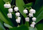 Illatolaj Gyöngyvirág (Lily of the Valley)