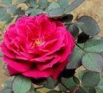 Illatolaj Pipere Rózsa és Pézsma  10ml