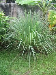Illatolaj Sensory Citromfű és moha (Lemongrass and Oakmoss) 30ml