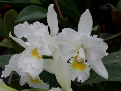 Illatolaj Orchidea (Orchid)