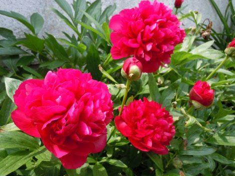 Illatolaj Pünkösdi rózsa (Peony)