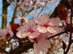Illatolaj Mandulavirág (Almond Blossom)