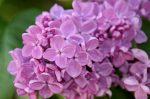 Illatolaj Sensory Orgona (Lilac) 30ml
