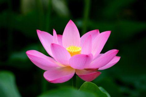 Illatolaj Pipere Lótusz virág 50ml