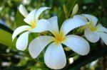 Illatolaj Sensory Tahitian Gardenia 10ml