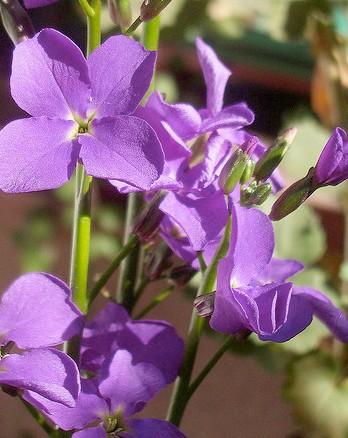 Illatolaj Pipere Amethist and floral 30ml