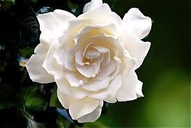 Illatolaj Sensory Gardénia (Gardenia) 30ml