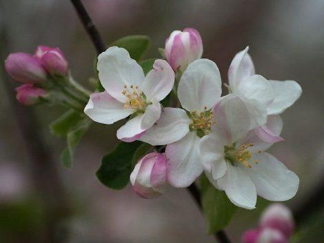 Illatolaj Sensory Almavirág (Apple Blossom)10ml