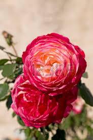 Illatolaj Oriental rózsa (Oriental Rose)