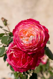 Illatolaj Sensory Oriental rózsa (Oriental Rose) 50ml