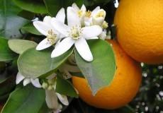 Narancsvirágvíz 250ml
