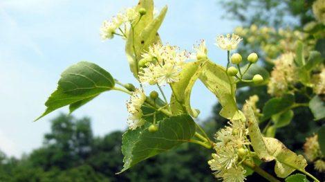 Illatolaj Hársfavirág