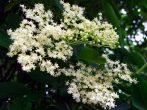 Illatolaj Sensory Bodzavirág (Elderflower)10ml