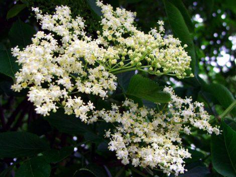 Illatolaj Sensory Bodzavirág (Elderflower) 30ml