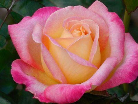 Illatolaj Sensory Tearózsa (Tea Rose) 10ml