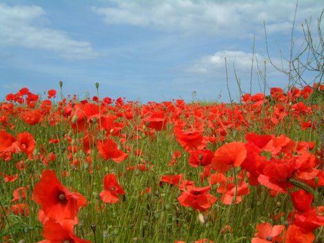 Illatolaj Sensory Édes pipacs (Sweet Red Poppy)10ml