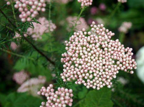 Illatolaj Shea & Rizsvirág ( Shea & Riceflower)