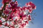 Illatolaj Magnólia (Magnolia In Bloom)