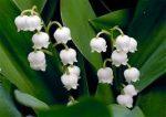 Illatolaj Sensory Gyöngyvirág (Lily of the Valley)10ml